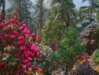 Colorful rhododendron flowers is bloomed in Poon hill trekking trail in autumn season
