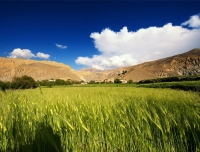 Barley field in Mustang