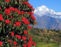 Mt. Dhaulagiri and Rhododendron Flower