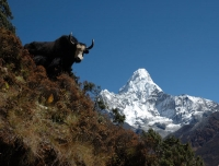 A yak stands in front of Mt. Amadablam