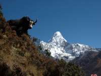 A yak and Mt. Amadablam in the background
